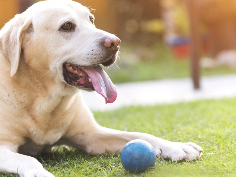 Orchitis In Dogs- Causes, Symptoms, Treatment And Management