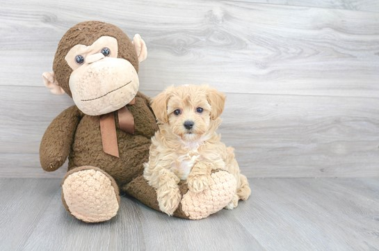 Buying Maltese Puppies: A Great Choice in the Long Run