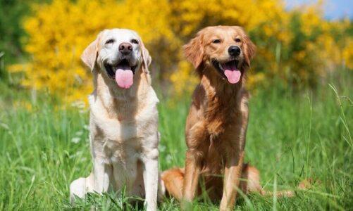 What is Labrador Retriever?