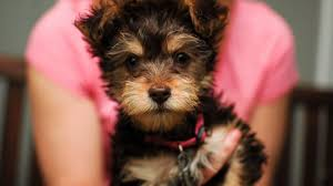 Learn These before Heading to Yorkiepoo Puppies for Sale