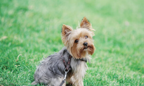 3 Tips to Take Care of Yorkie