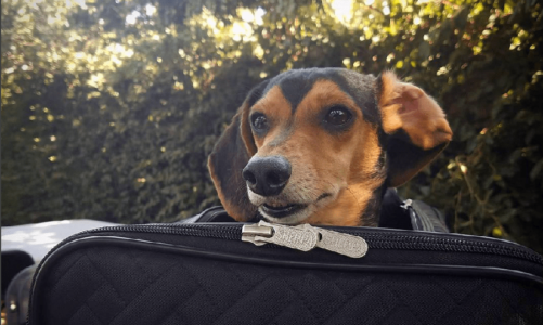 What You Need to Know Before Traveling With Your Dog