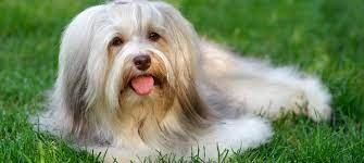 Is Havanese Dog a good catch for your home?