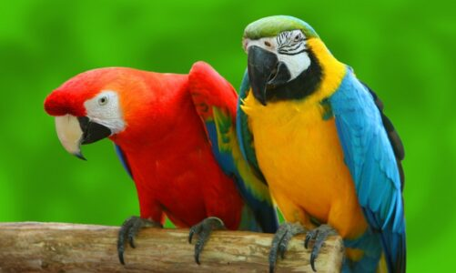 Throat Talking Parrot For Sale Ways